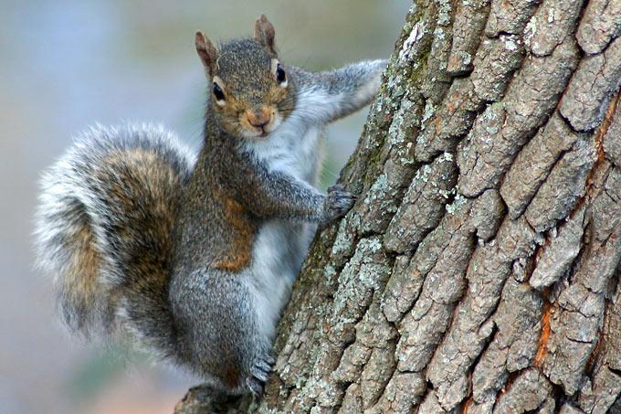 Grauhörnchen Eichhörnchen