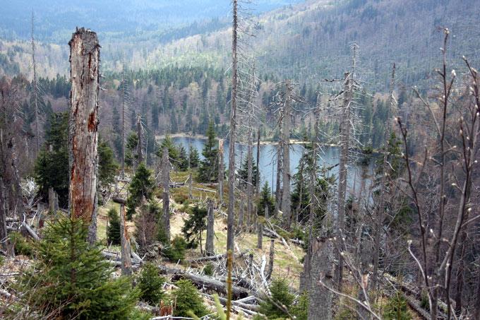 Borkenkäfer Bayerischer Wald