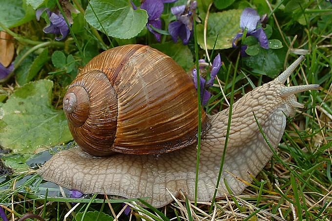 Artenportr 228 Ts Weinbergschnecke Nabu Niedersachsen