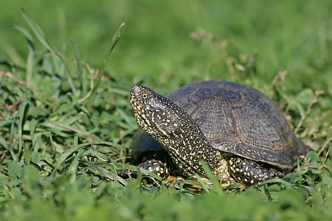 European pond turtle- Foto: Bärbel Rogoschik
